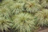 Carex comans 'Frosted Curls' / S?s