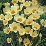 Crocus 'Cream Beauty '