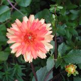 Dahlia 'Andries Orange' / F?lkaktusz-D?lia