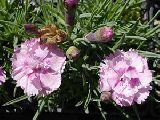 Dianthus ' Pike' s Pink '