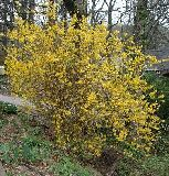 Forsythia x intermedia 'Karl Sax'