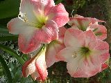Hippeastrum ' Apple Blossom '