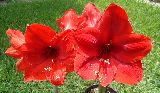 Hippeastrum ' Red lion '