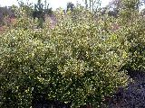 Ilex x altaclarensis 'Golden King'