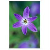 Ipheion uniflorum 'Froyle Mill '