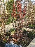 Malus baccata 'Evereste'