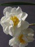 Narcissus 'Cheerfulness' / N?rcisz-Telt
