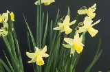 Narcissus 'Dove Wings' / N?rcisz-Cyclamineus