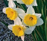 Narcissus 'Ice Follies' / N?rcisz-Kis cs?sz?j?ek