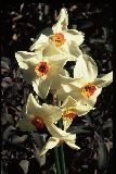 Narcissus 'Pride OF Cornwall' / N?rcisz-Tazetta