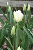 Tulipa 'White Dream' / Tulip?n-Triumph